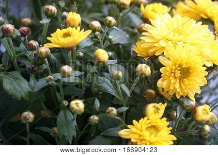 Yellow flower lawn daisy dandelion or better known as Bellis Perenni