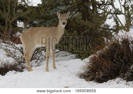 Whitetail deer fawn in a winter snow scene