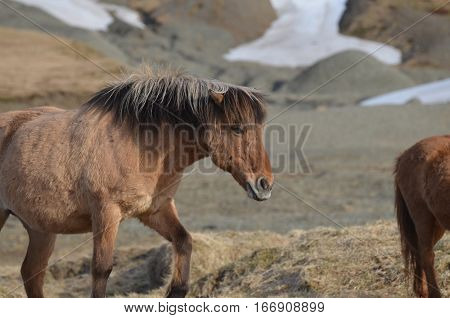 Grazing Icelandic roan horse on a farm in Iceland.