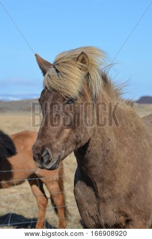 Beautiful Icelandic horse with a striking blonde mane.
