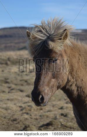Wind blown forelock on an Icelandic horse makes it look like a mohawk.