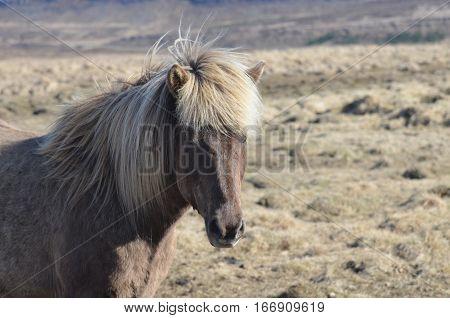 Great roan Icelandic horse standing in a field in Iceland.