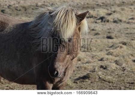 Really attractive Icelandic horse with a thick blonde mane.