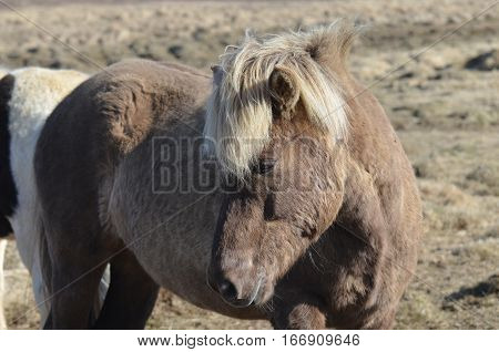 Beautiful Icelandic horse standing in a field in Iceland.