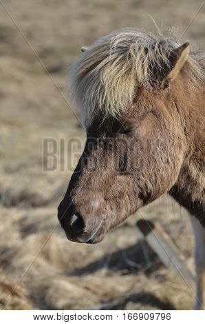 Profile view of an Icelandic horse in Iceland.