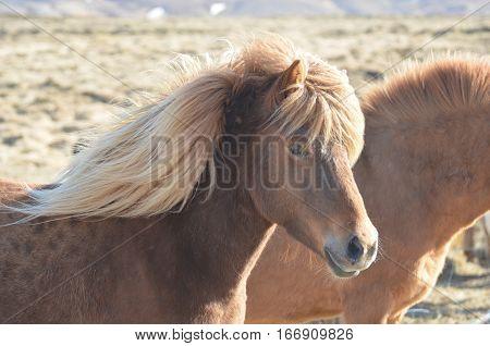 Beautiful Icelandic pony on a farm in Iceland.