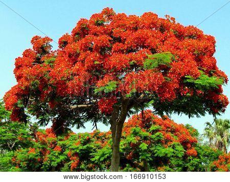 Red acacia tree in Edith Wolfson Park in Ramat Gan Israel June 22 2011