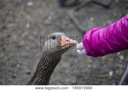 A young girl extending her hand to feed a greylag goose Anser anser with the child's arm and the face of the goose visible