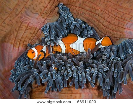 Clownfishes at Home