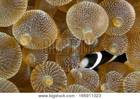 Clownfish, Amphiprion clarkii, hiding in host sea anemone, Entacmaea quadricolor, Komodo Island, Indonesia, Indo-Pacific.