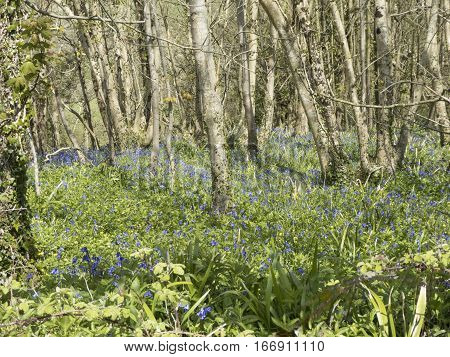 English Bluebell wood in early springtime with trees and flowers