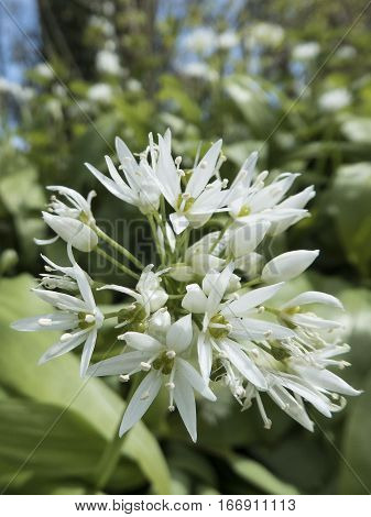 Ramsons Allium ursinum also known as Wild Garlic flowerhead with many white flowers