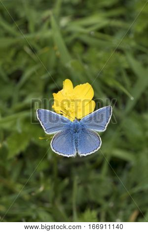 Male Common Blue butterfly Polyommatus icarus nectaring on a buttercup with wings open at Badbury Rings Dorset England