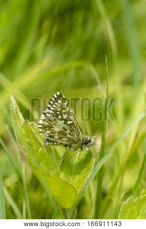Tiny Grizzled Skipper butterfly Pyrgus malvae resting on a clover leaf facing right showing mainly underwing
