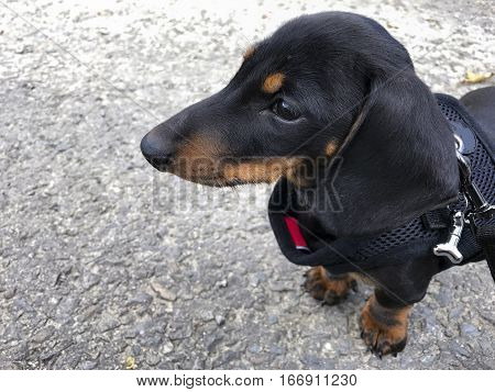 Black and tan miniature smooth-haired Dachshund puppy in profile wearing a harness on the ground