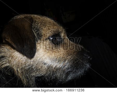 Portrait of scruffy brown border terrier cross in profile with black background