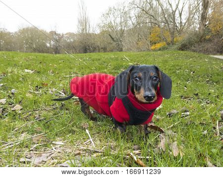Black and tan miniature smooth-haired dachshund in red fleece coat and harness on grass
