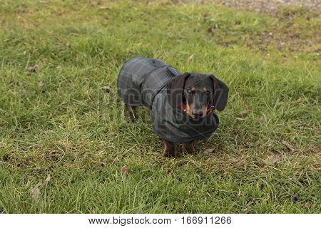 Young black and tan miniature dachshund in blue and green waxed coat standing on grass facing camera