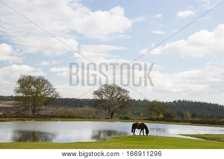 Pony grazing by a pond with trees behind in the New Forest National Park at Bratley View