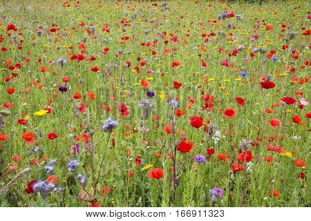 Summer wildflower meadow with poppies and cornflowers