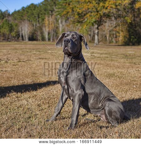 Gray Great Dane female sitting on the grass in an autumn field