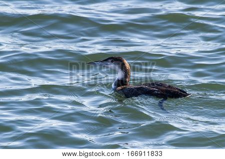 Common Loon water bird in bc canada