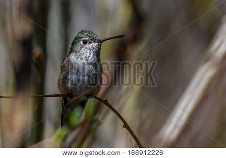 A Female Broad-tailed Hummingbird Perched on a Branch
