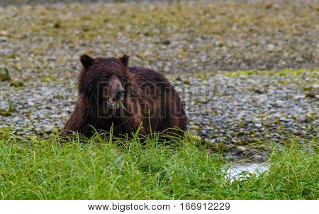 A Brown (Grizzly) Bear Looking for Food at the River