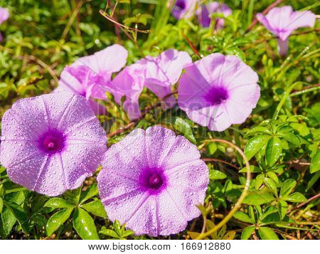 Water droplets on purple flower, morning glory flower, Purple flower blossom on garden, Close up