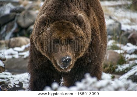 A Brown (Grizzly) Bear Searching for Food in the Snow
