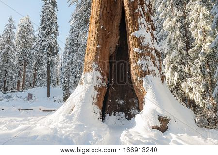 Giant Sequoia Trees In Kings Canyon & Sequoia National Park