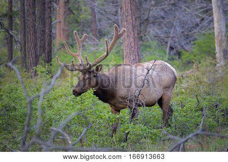 Wild Elk In National Park