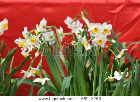 narcissus blooming for chinese new year