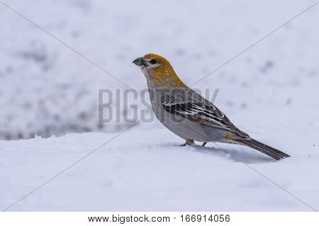 A Female Pine Grosbeak Foraging for Food in the Snow