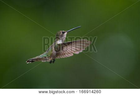 A Broad-tailed hummingbird in Flight at Feeder