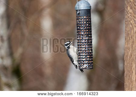 Female Downy Woodpecker and feeder close up