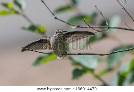 A Female Broad-tailed Hummingbird About to Launch