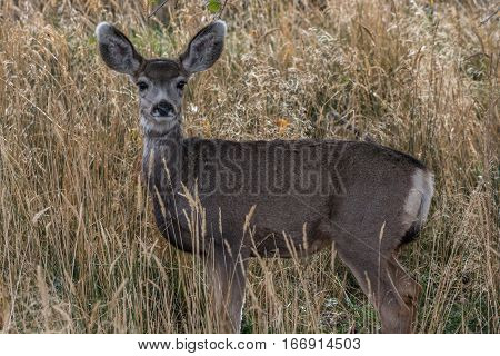 A Cute Mule Deer Fawn out for the Morning