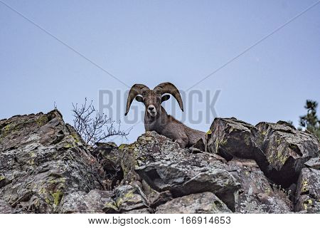 A Bighorn Sheep Ram Peers over a Cliff
