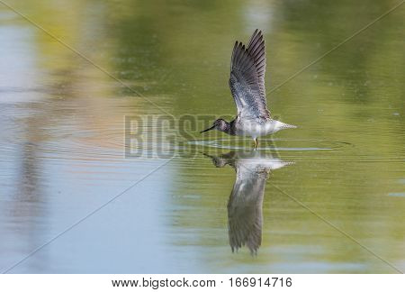 A Solitary Sandpiper Flapping Wings on Water