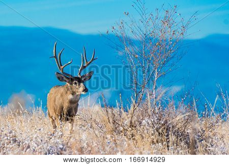 A Mule Deer Buck during Early Fall