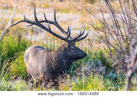 A Large Bull Elk Roaming in a Meadow