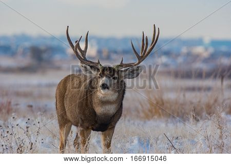 A Mule Deer Buck in Early Winter