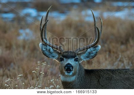 A Mule Deer Buck Looks very surprised