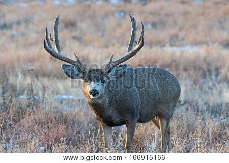 A Large Trophy Mule Deer Buck Poses for a Photo