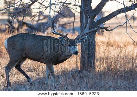 A Large Mule Deer Buck in the Morning