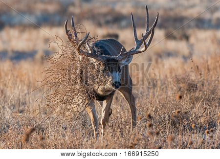 Large Mule Deer Buck that Snagged a Tumbleweed in its Antlers