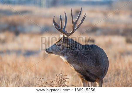 A Mule Deer Buck in late Fall