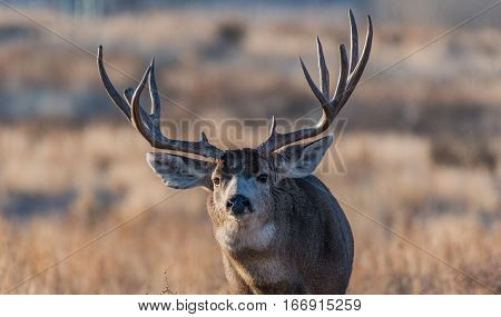 A Large Mule Deer Buck in Late Fall