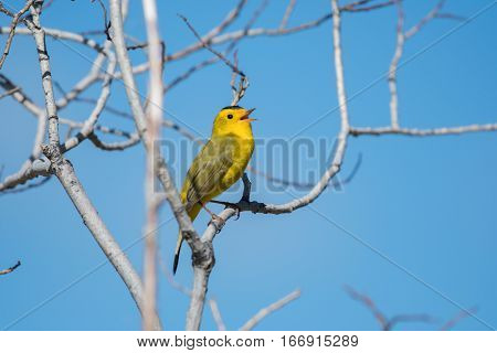 A Wilson's Warbler Singing on a Spring Morning